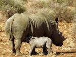 2 week old white rhino calf